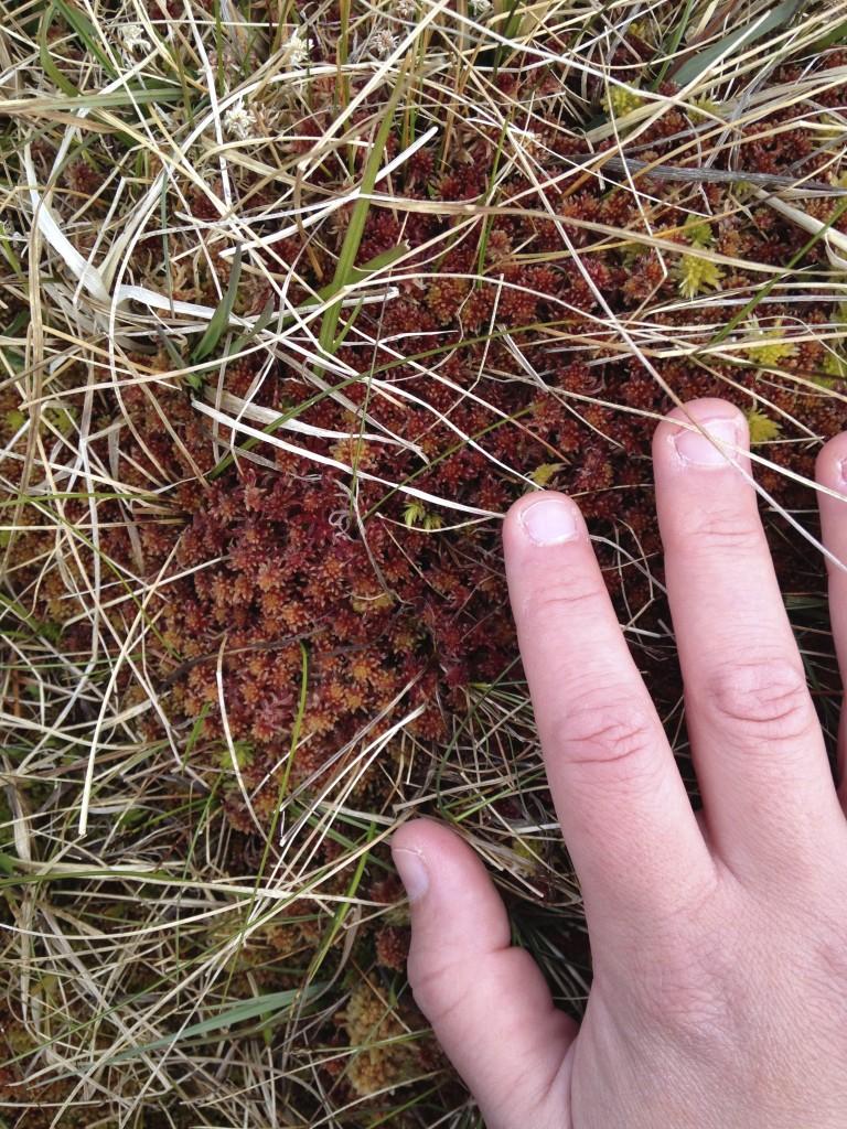 sphagnum moss red heaval castlebay